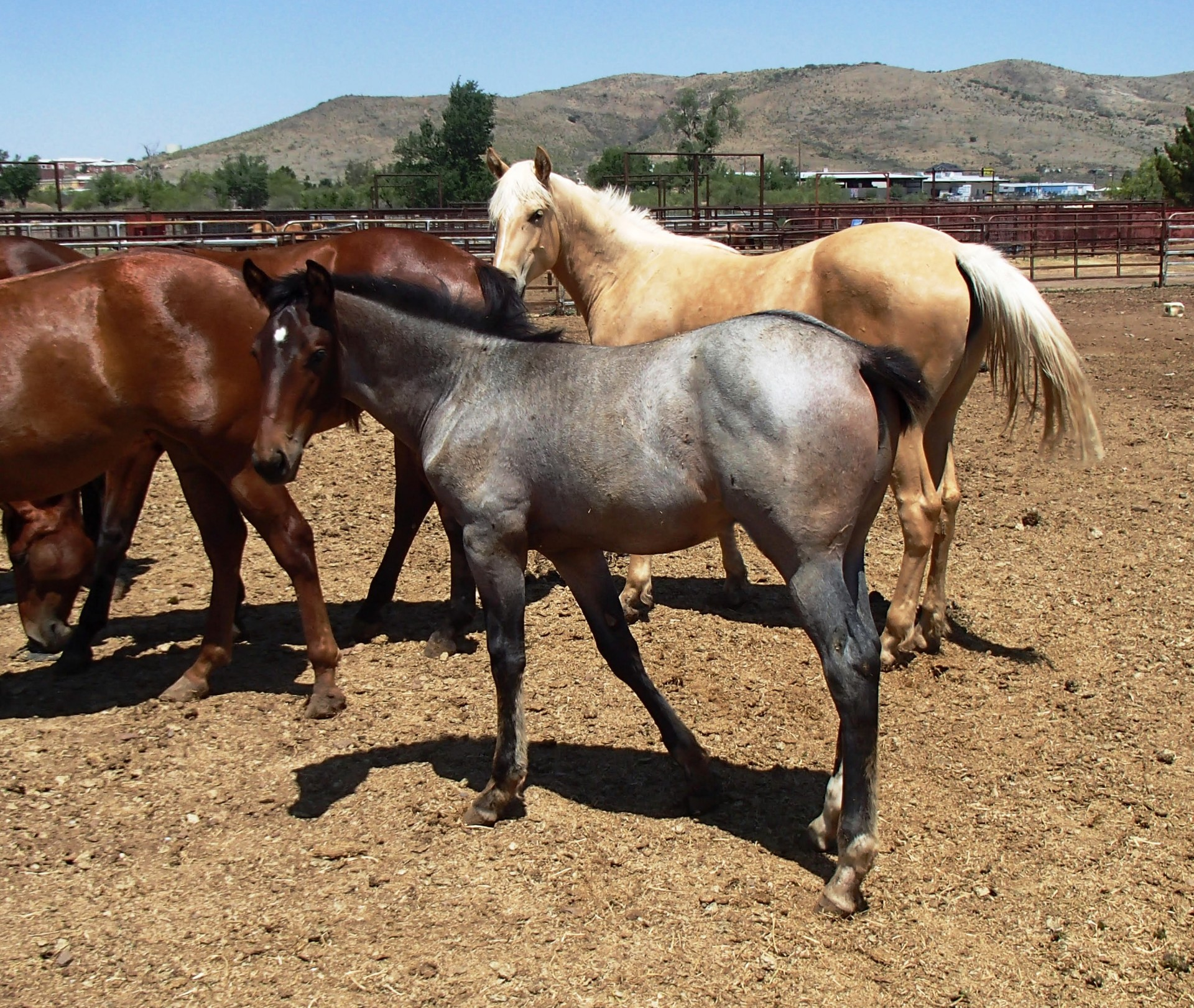 Red roan quarter horse filly