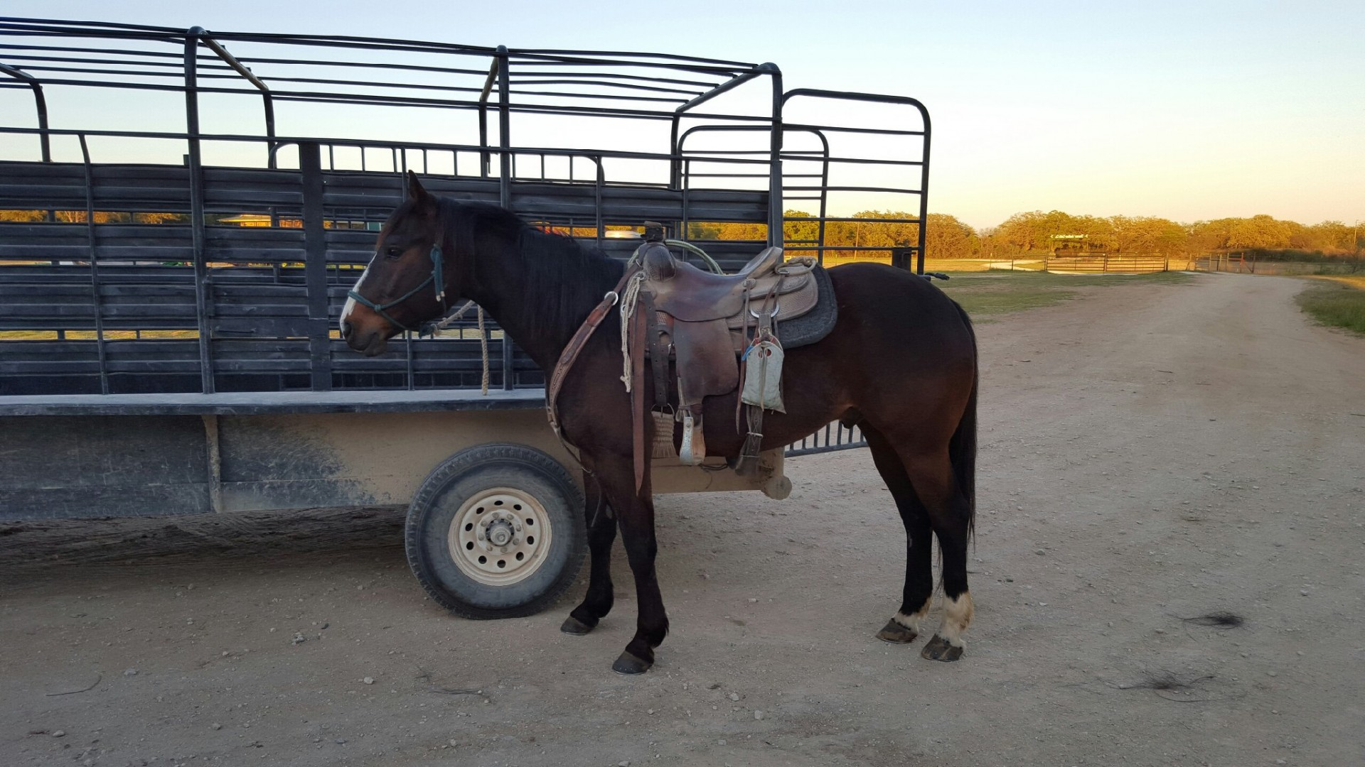 8 year old stout bay gelding