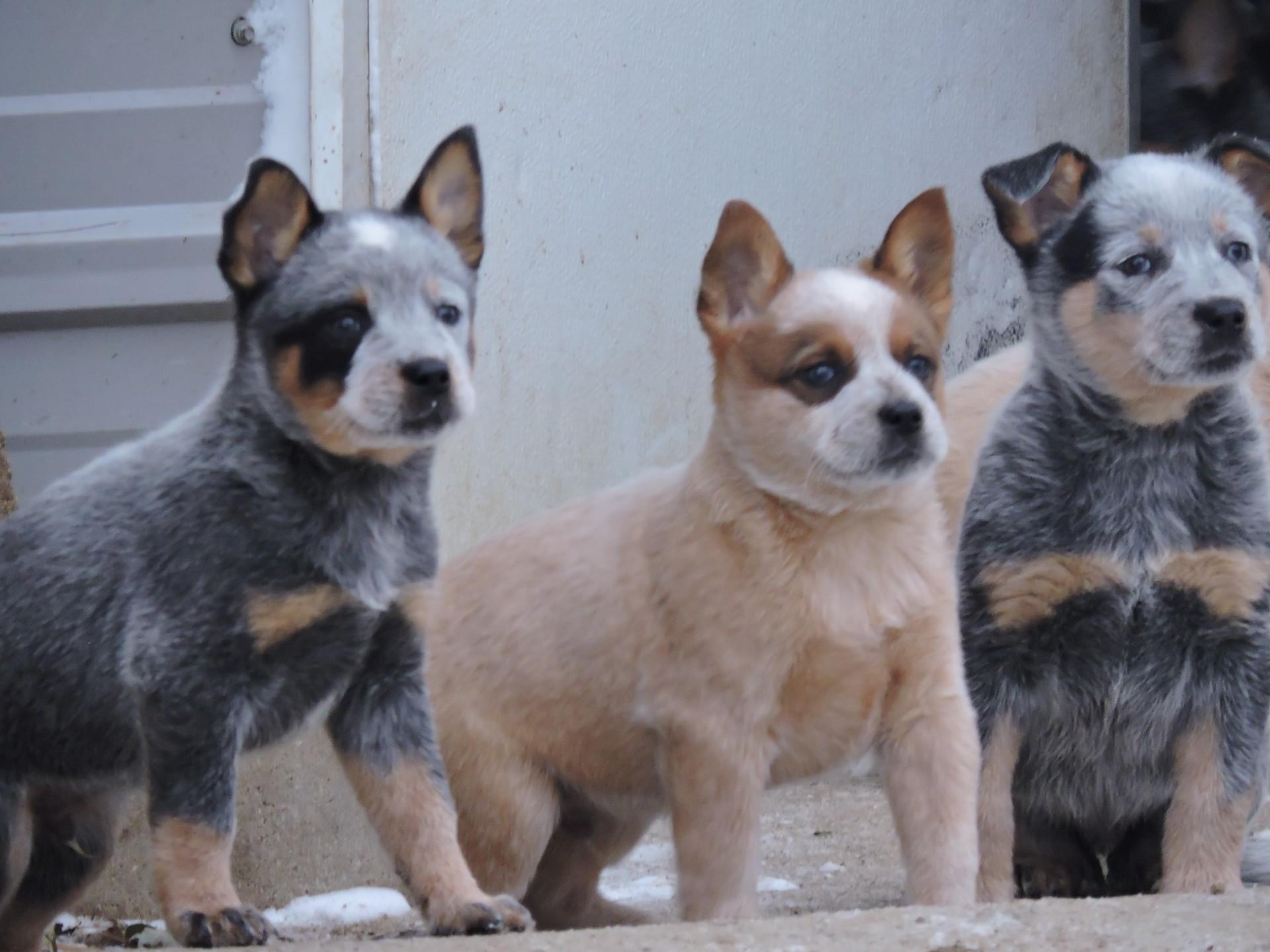 Red Blue Heeler Puppies