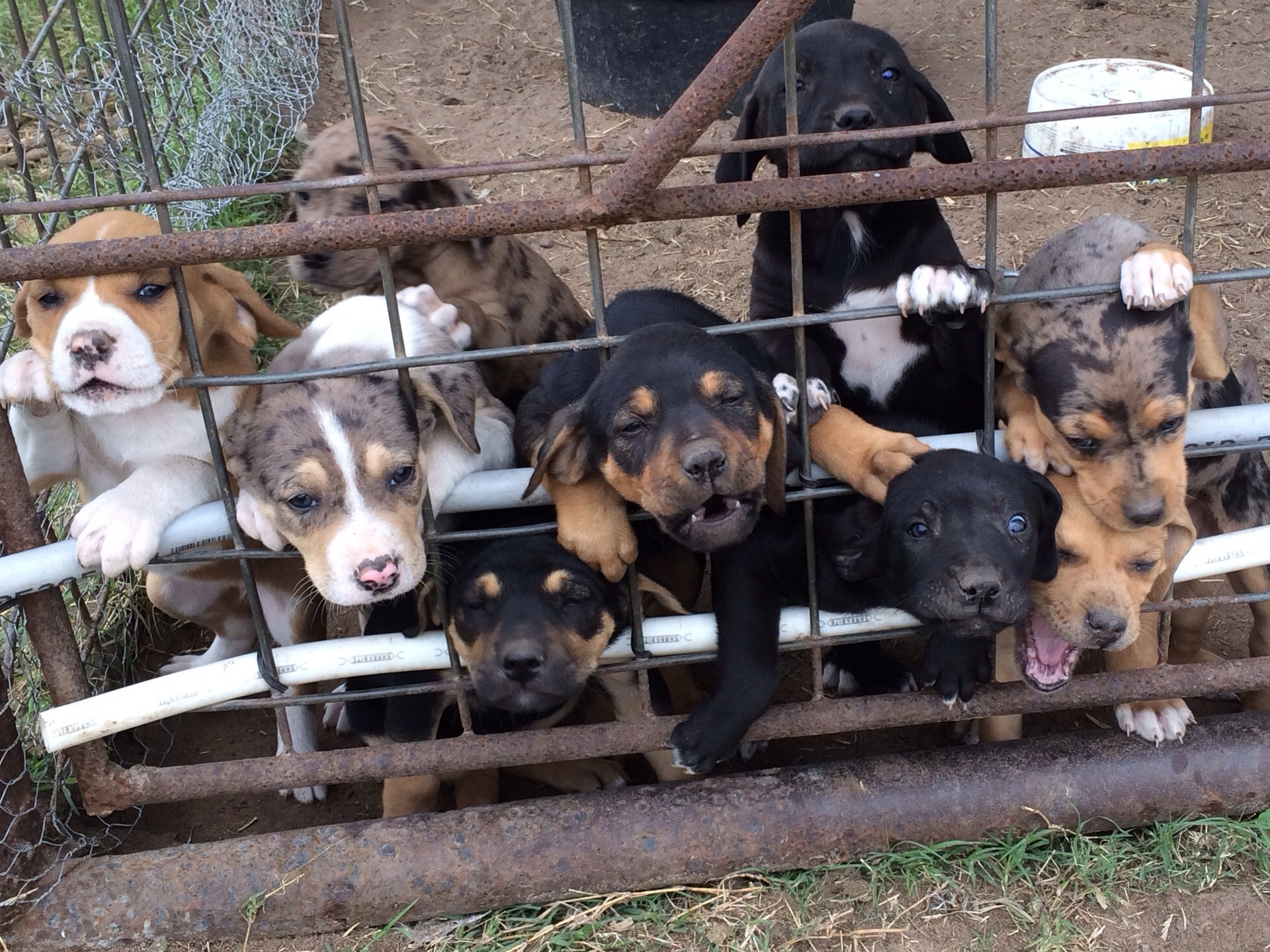 Black Mouth Cur Cow Dogs For Sale In Texas