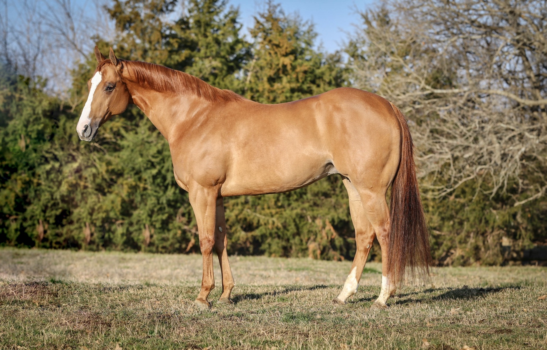 corona cartel horses for sale