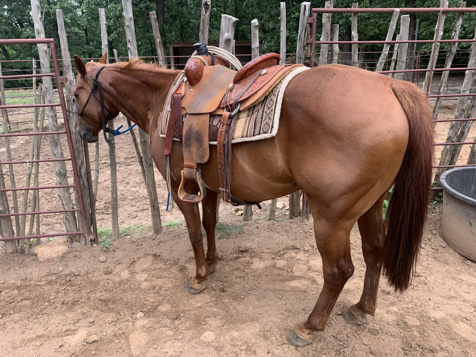 12 Year Old Sorrel Quarter Horse Ranch Gelding for Sale - For more information click on the