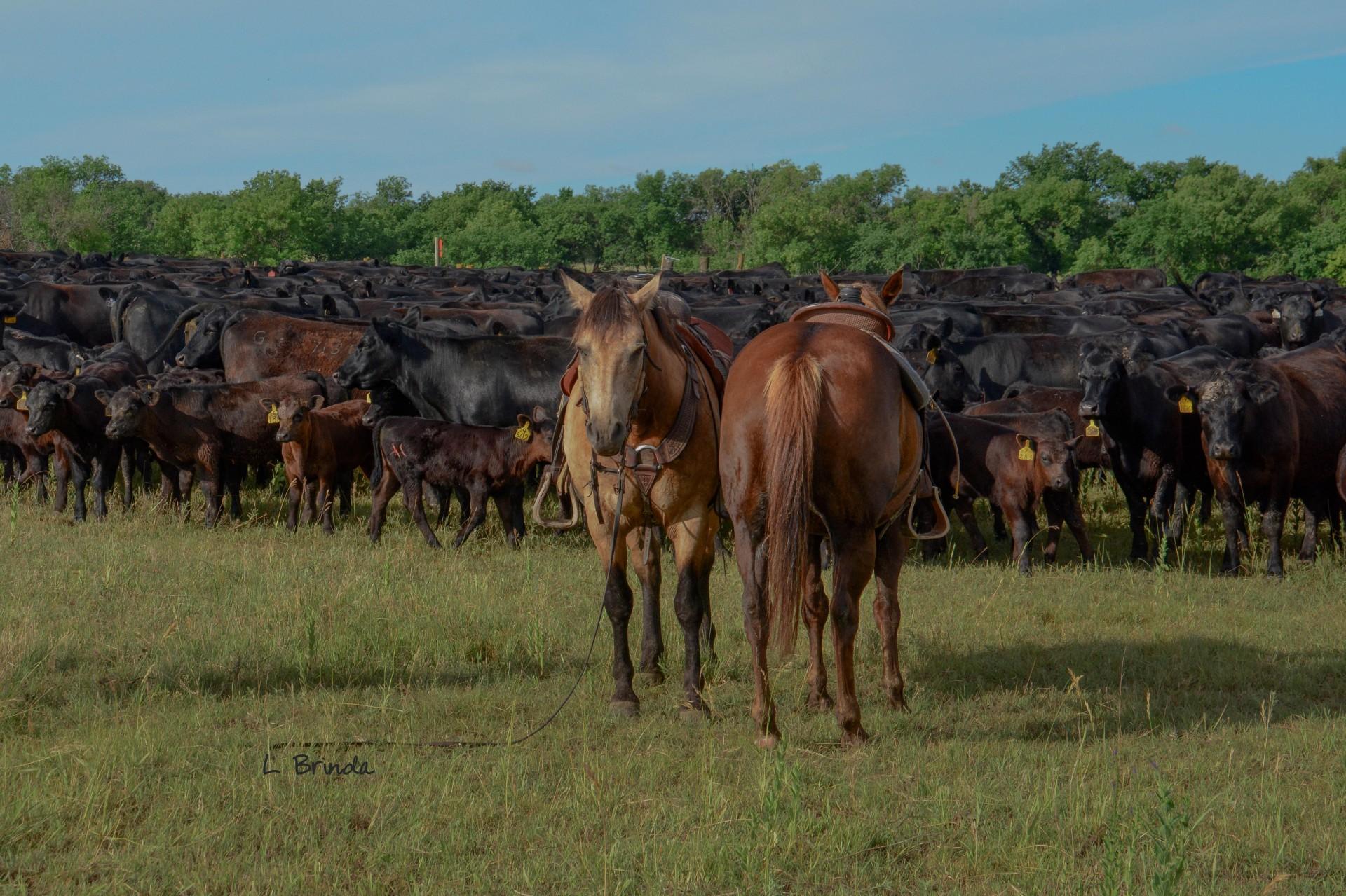 Wanted Ranch Hand For Cow Calf Ranch Nebraska