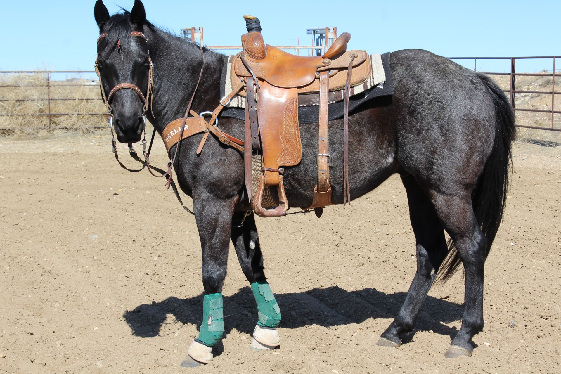6 Year Old Blue Roan Rope Horse
