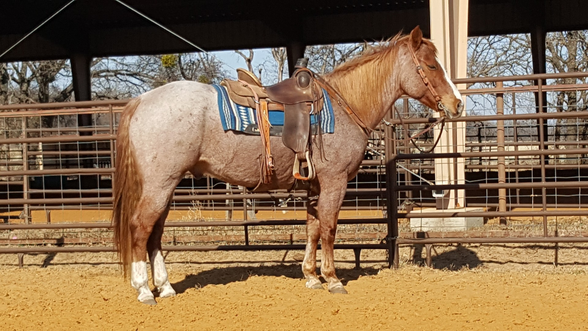7 Year Old Strawberry Roan Ranch Gelding