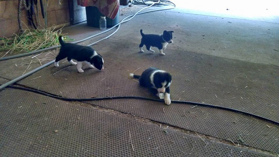 Ranchworldads Trailers >> Border Collie puppies out of proven working dogs