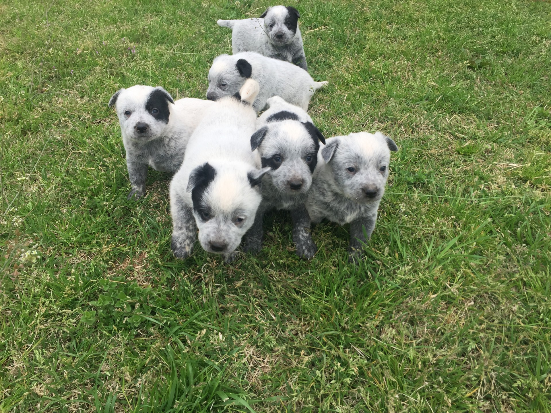 Blue Heelers For Sale : Blue heeler puppies for sale!