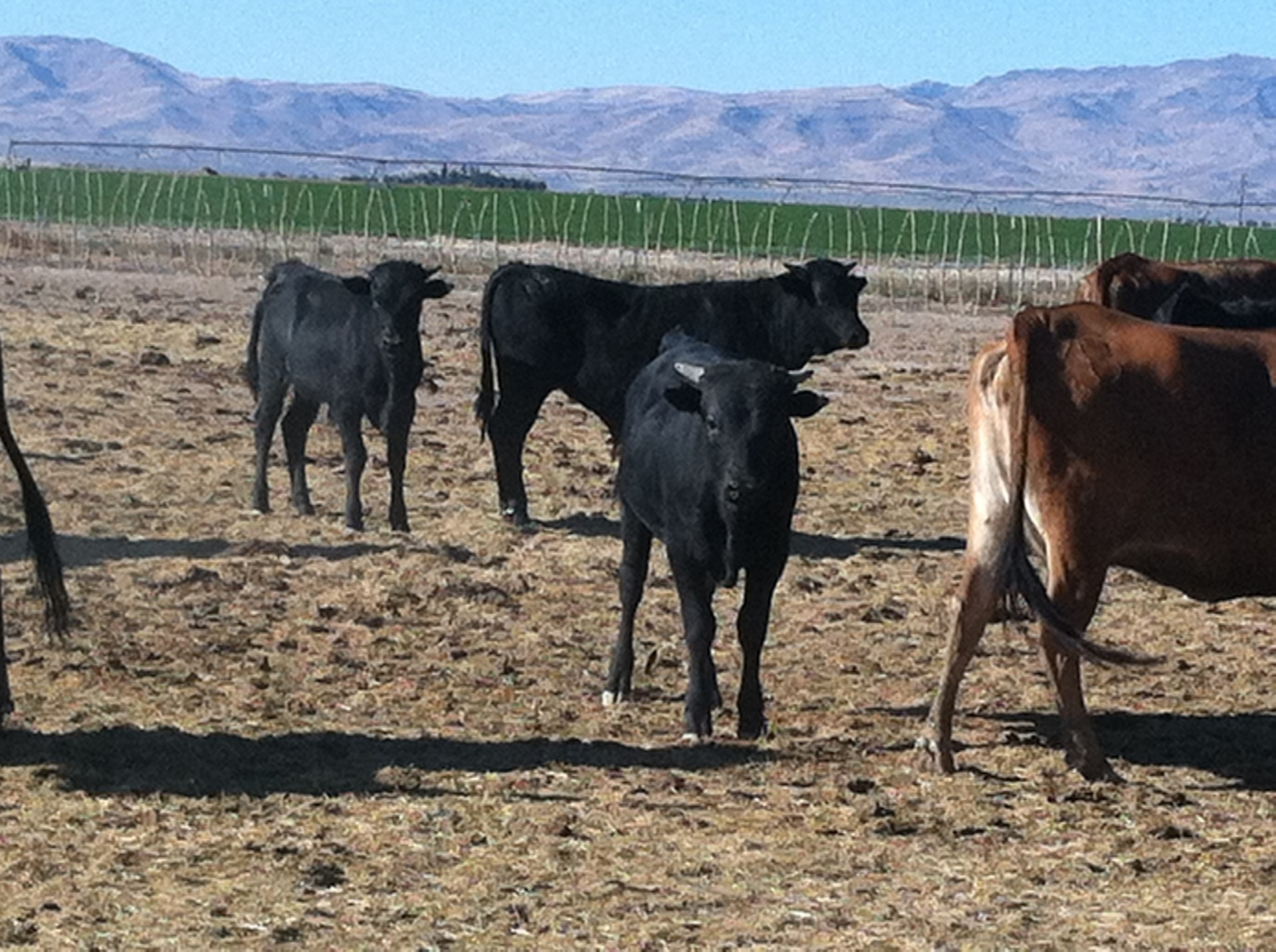 18 - Fresh Roping Cattle - Idaho