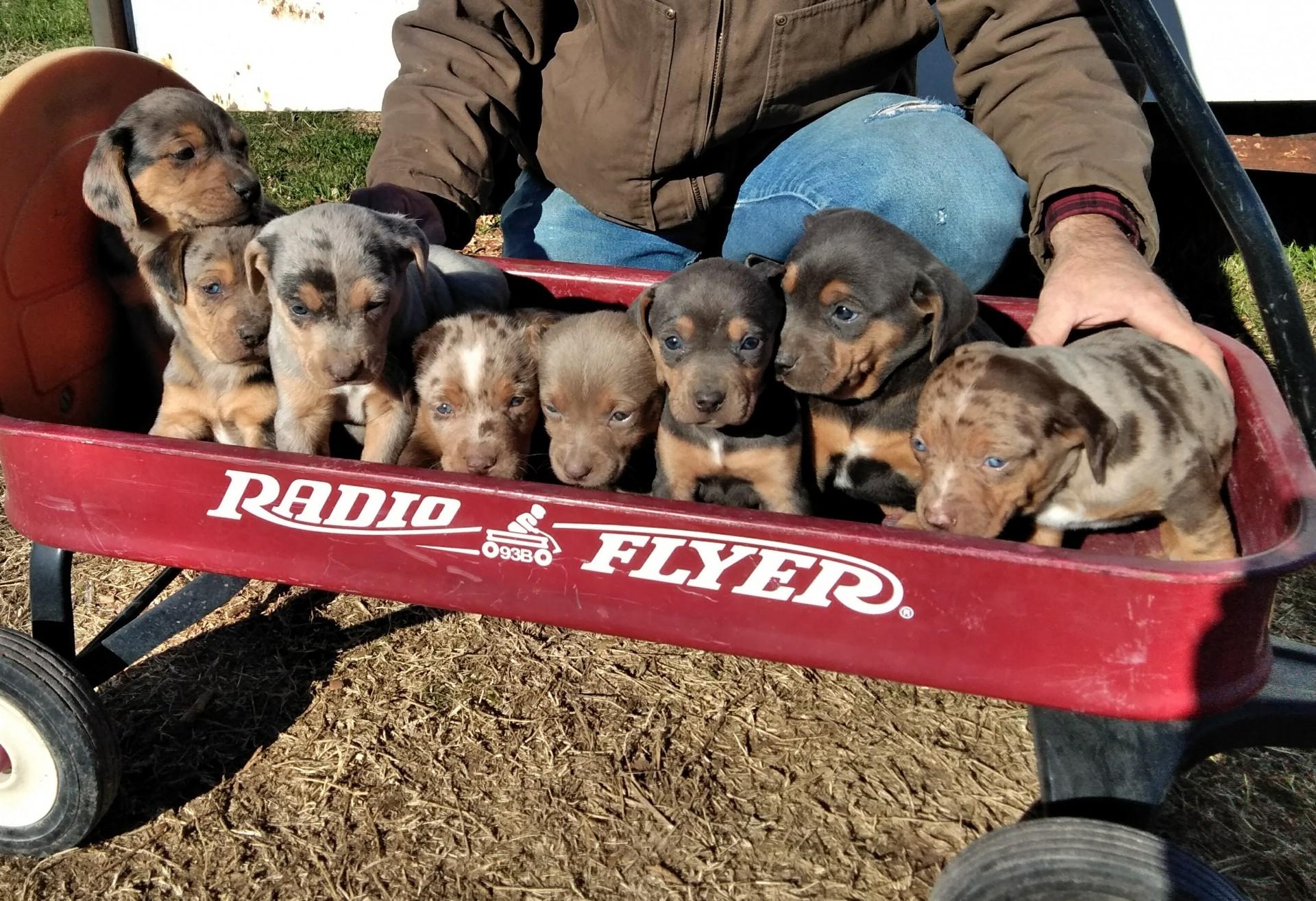 NALC Registered Catahoula Puppies