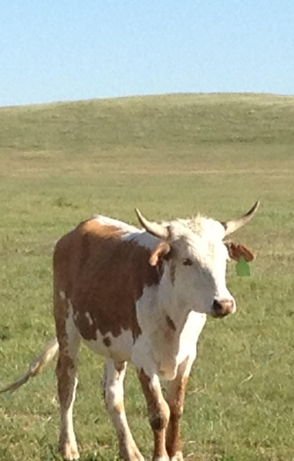 20 - Fresh Mexican Corriente Roping Steers - South Dakota