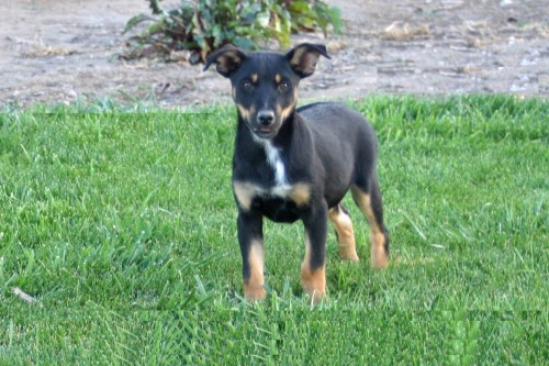 Kelpie Cow Dogs For Sale