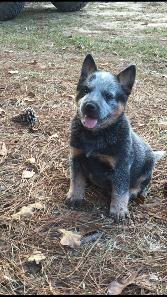 Akc Registered Australian Cattle Dog Pups