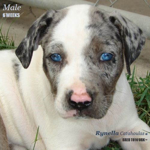 Catahoula Puppies For Sale – Themalaysiainsider