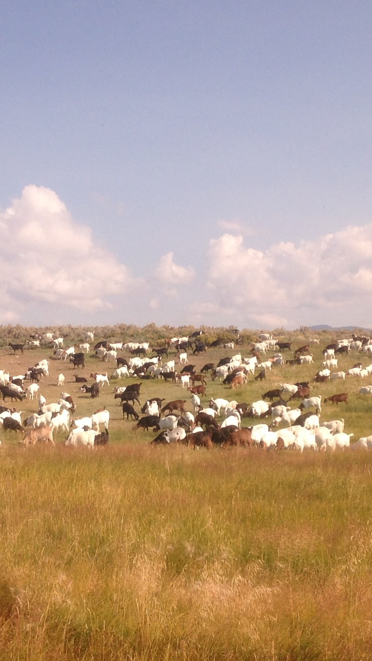 100 + Boer and Spanish Goats for Sale in Colorado
